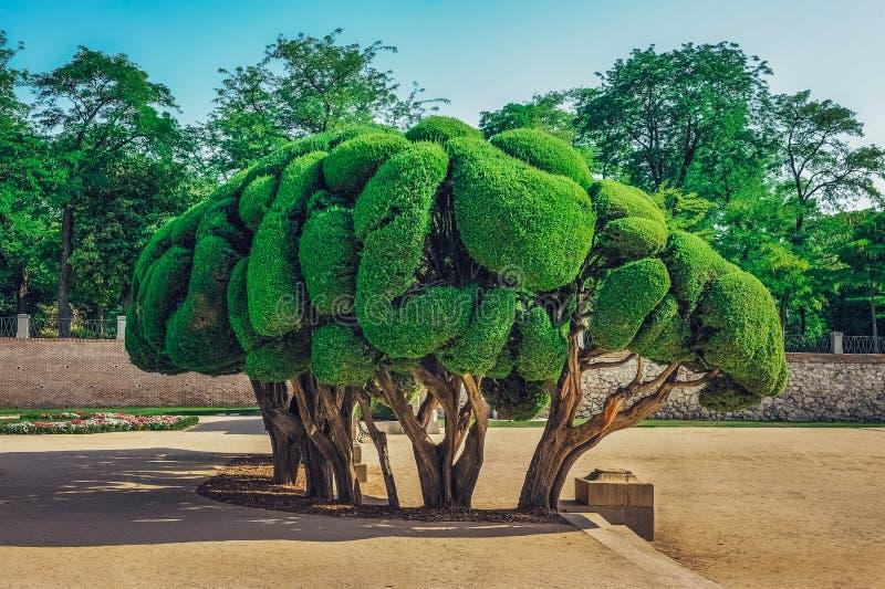 Gestalteter Zypresse-Baum innerhalb Parks Buen Retiro in Madrid, Spanien stockbilder