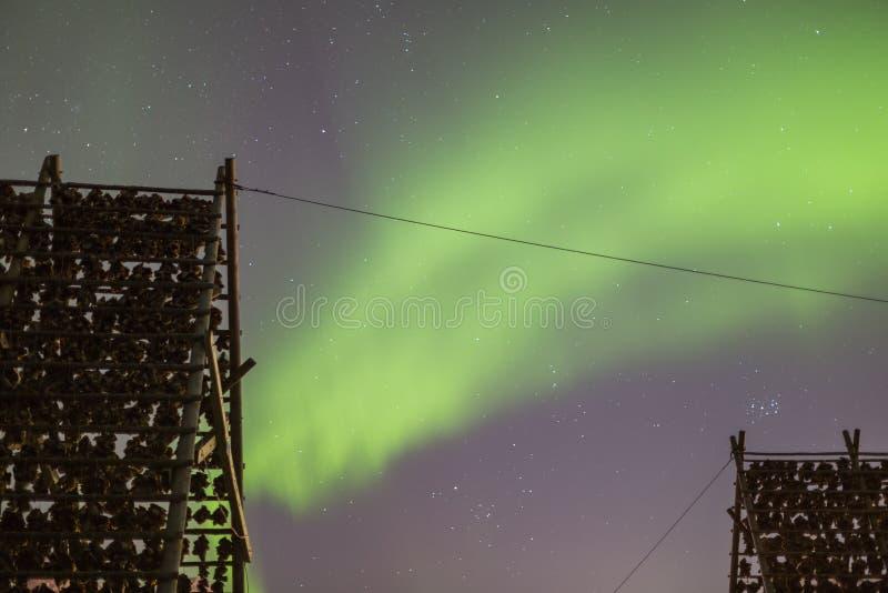 Gestelle mit trocknendem Stockfisch geht mit aurora borealis, Nordlichter voran lizenzfreies stockfoto