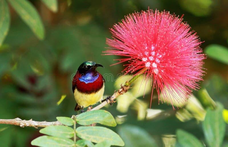 Gesteund karmozijnrood sunbird, Leptocoma-minima, mannetje, Coorg, Karnataka, India royalty-vrije stock afbeelding