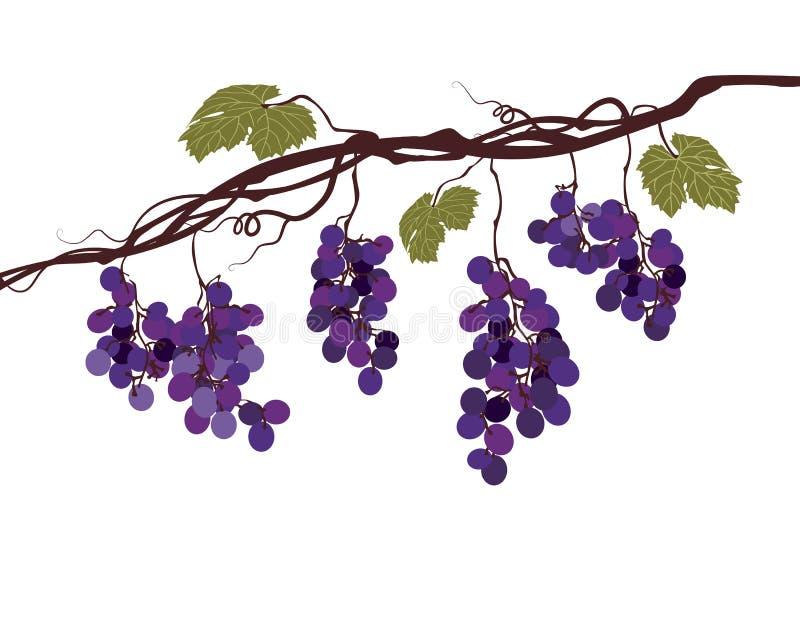 Gestileerd grafisch beeld van een wijnstok met druiven vector illustratie