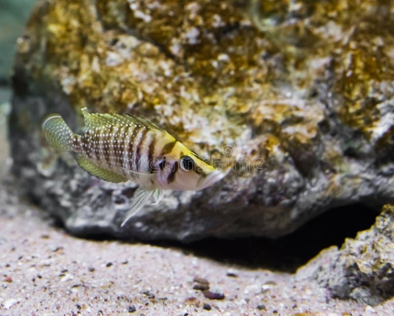 Gestreept geel en bruin samengeperst cichlid in close-up, een tropische vis van meer Tanganyika in Afrika royalty-vrije stock afbeelding