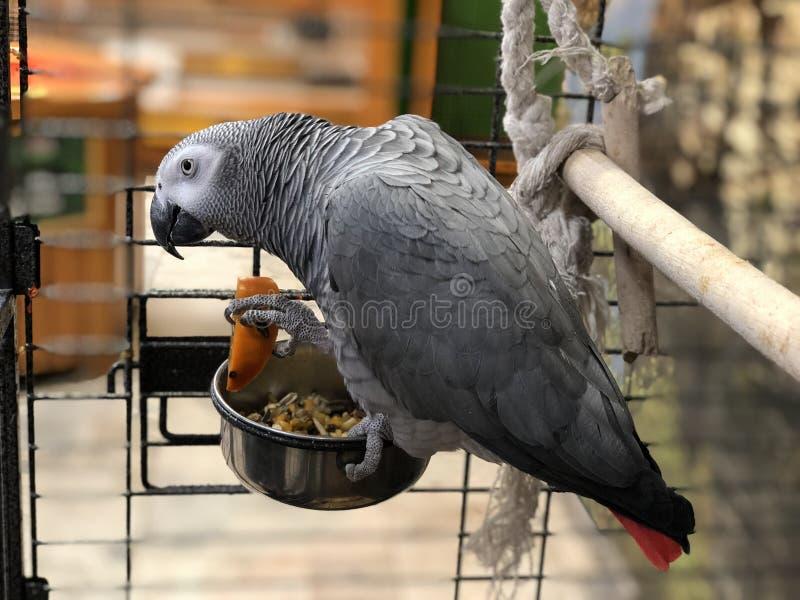 Gestreept grijs die grote papegaai spreken die aan kooi dadelpruim en fruit eten stock foto's