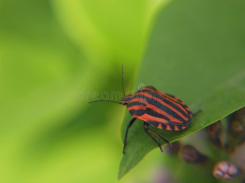 Gestreept insect op Syringa-blad royalty-vrije stock foto's