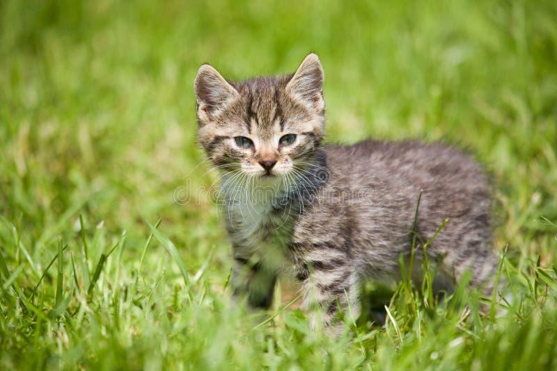Gestreept katje op het gras stock fotografie