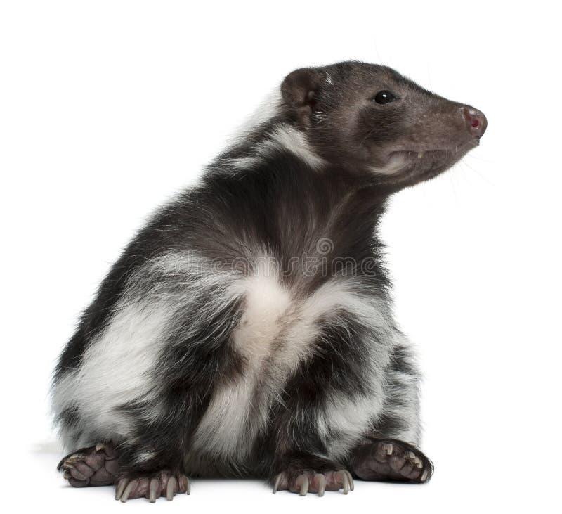 Gestreept Stinkdier, Mephitis Mephitis, 5 jaar oud stock foto's