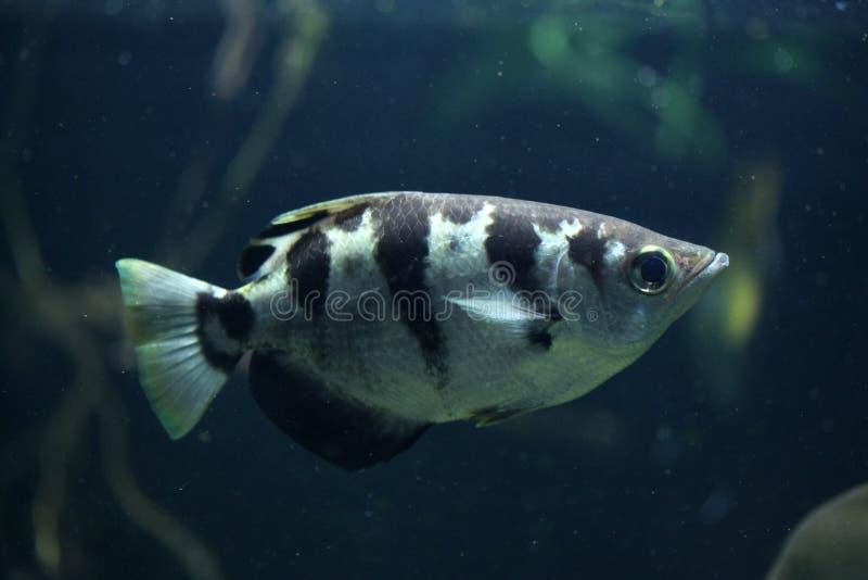 Gestreepte Archerfish (Toxotes Jaculatrix) stock foto
