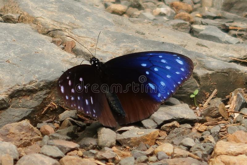 Gestreepte Blauwe Kraaivlinder stock foto