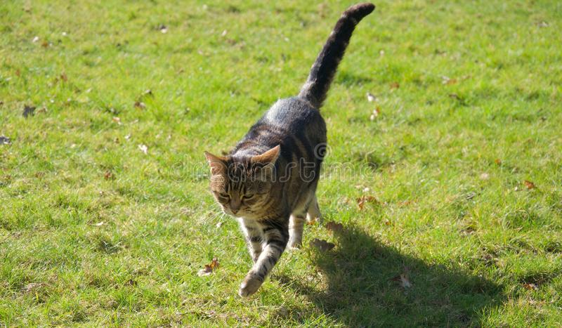Gestreepte bruin, gember en zwarte kat die over grasgazon lopen in helder zonlicht royalty-vrije stock afbeeldingen
