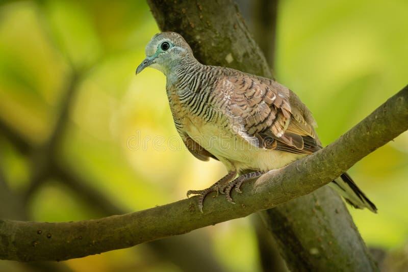 Gestreepte die Duif - Geopelia-striata ook als versperde grondduif wordt bekend, is een vogel van de duiffamilie, Columbidae, inw royalty-vrije stock afbeeldingen