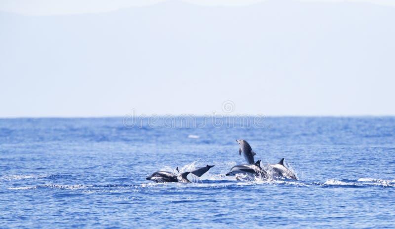 Gestreepte Dolfijn, randig delfin, Stenella coeruleoalba royaltyfri bild