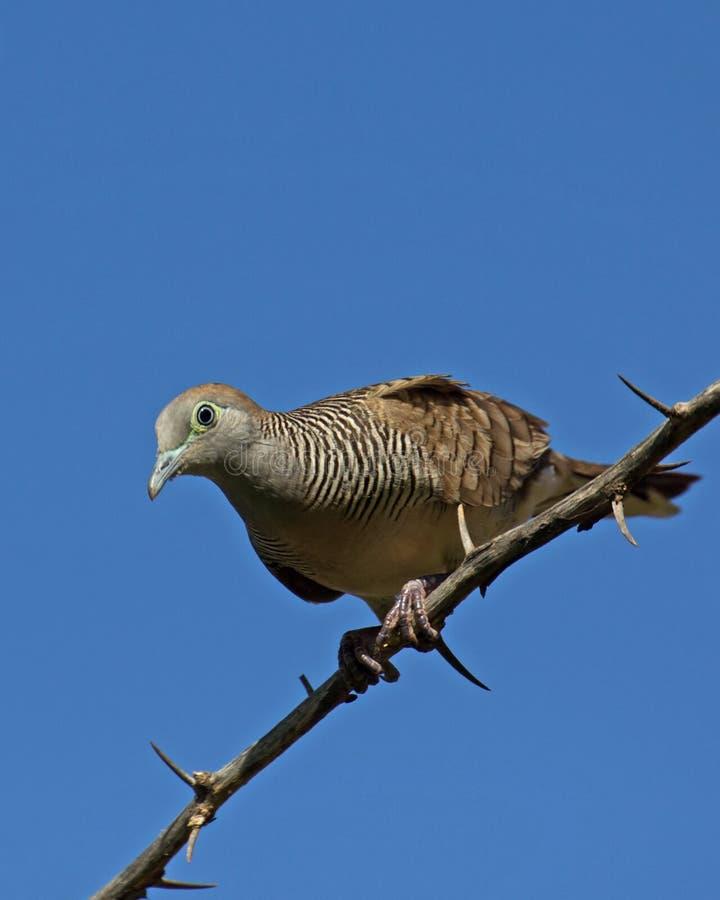 Download Gestreepte duif stock foto. Afbeelding bestaande uit atop - 29509622