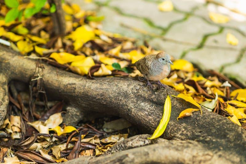 Gestreepte duif op wortel stock foto's