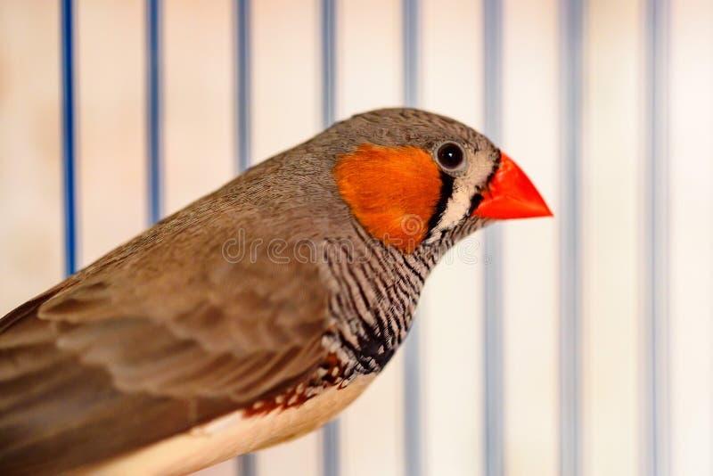 Gestreepte finches die op een toppositie in een kooi zitten stock fotografie