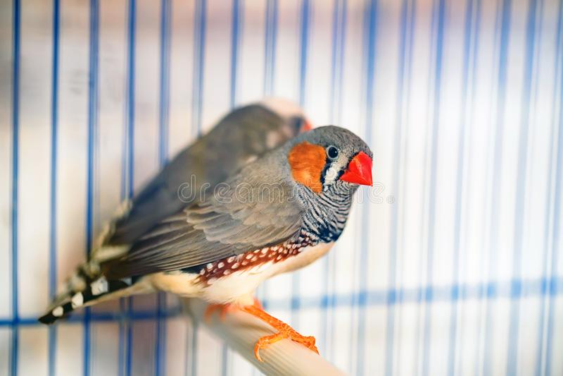 Gestreepte finches die op een toppositie in een kooi zitten royalty-vrije stock foto