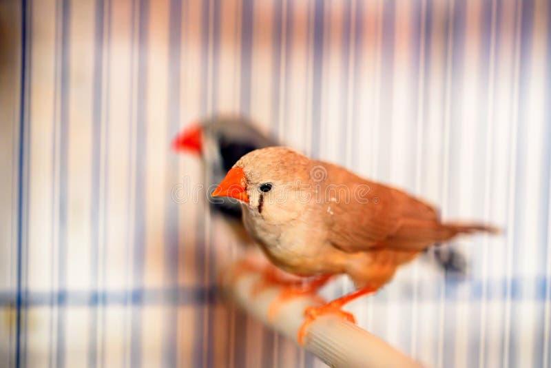 Gestreepte finches die op een toppositie in een kooi zitten royalty-vrije stock afbeeldingen