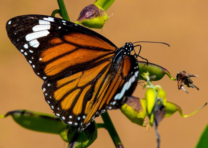 Gestreepte genutiavlinder van tijgerdanaus stock afbeeldingen