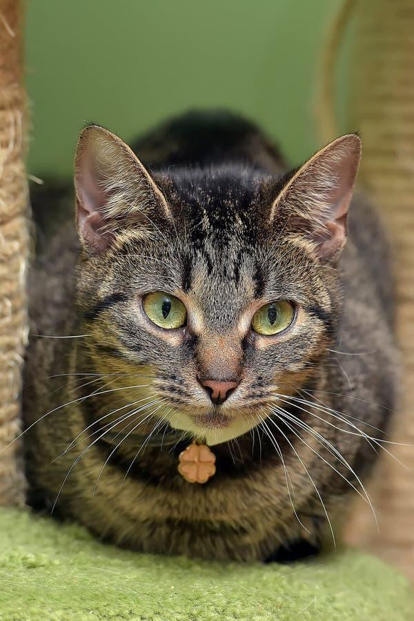 Gestreepte groen-eyed kat royalty-vrije stock fotografie