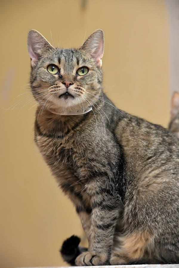 Gestreepte groen-eyed kat stock foto's