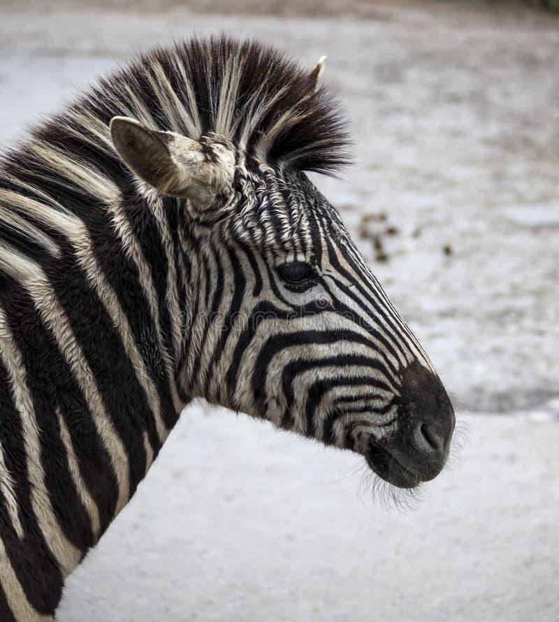 Gestreepte hoofdclose-up Mooie paardzebra Afrikaanse Zebra royalty-vrije stock afbeeldingen