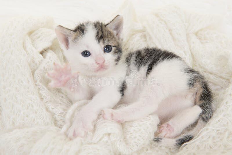 Gestreepte kat en witte babykat die bij zijn het achter spelen op a van witte achtergrond liggen royalty-vrije stock foto