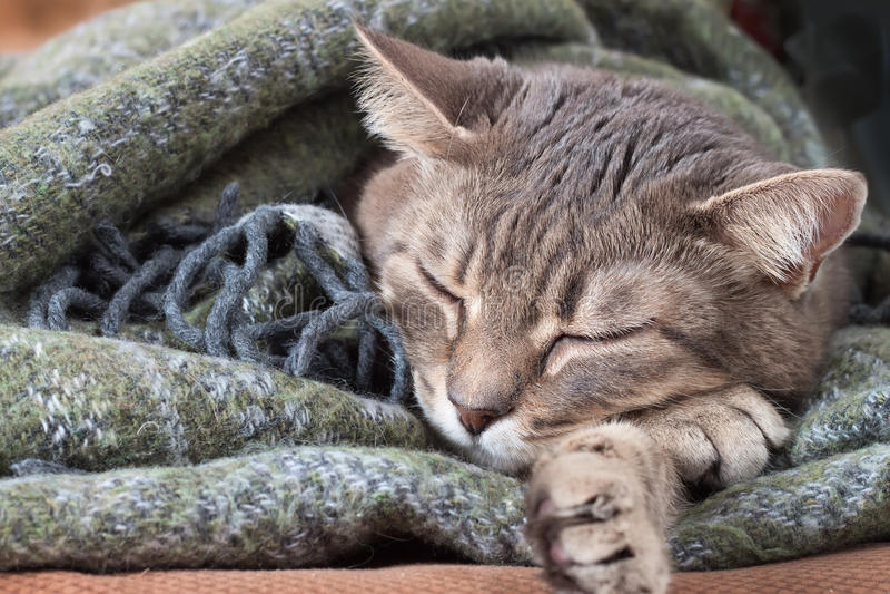 Gestreepte kat grijze kat die in een deken rusten stock afbeelding