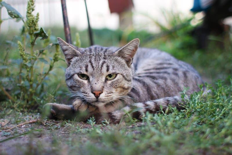 Gestreepte kat op een groen gras royalty-vrije stock foto