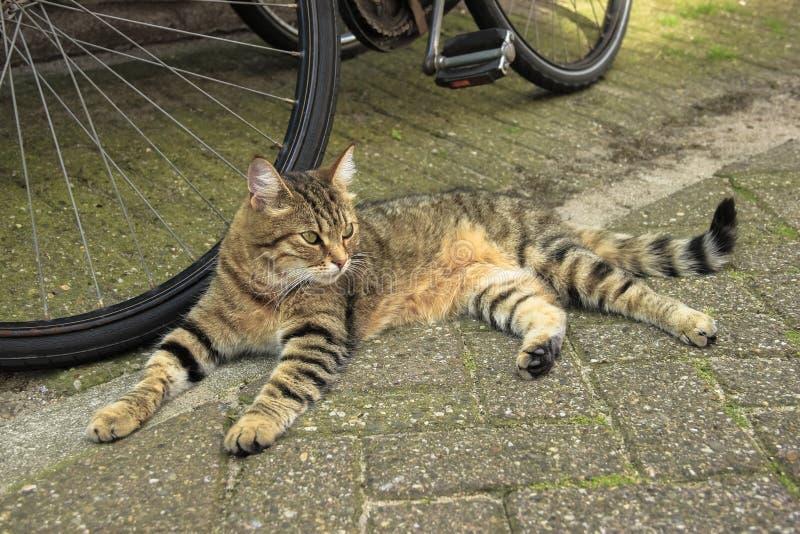 Gestreepte kat rode kat die dichtbij een fiets op de straat van Amsterdam leggen stock afbeelding