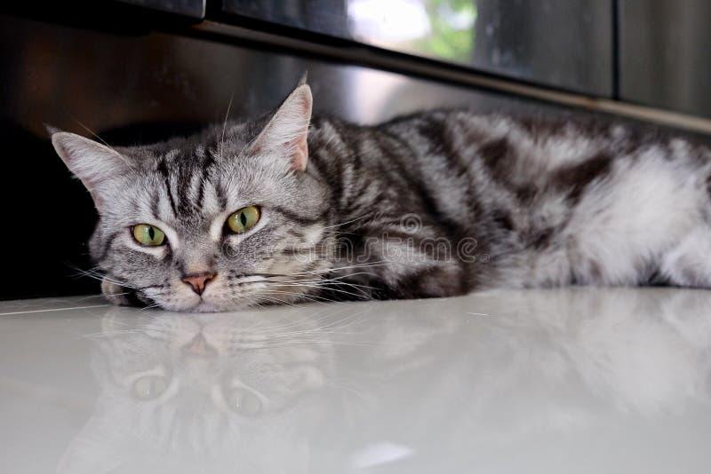 Gestreepte kat van het de pothuisdier van het katten de dierlijke leuke katje stock afbeelding