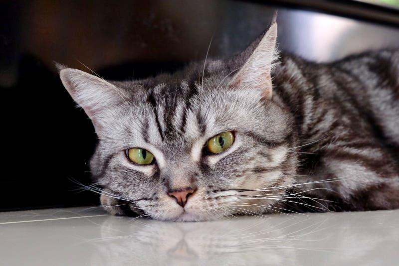 Gestreepte kat van het de pothuisdier van het katten de dierlijke leuke katje royalty-vrije stock foto