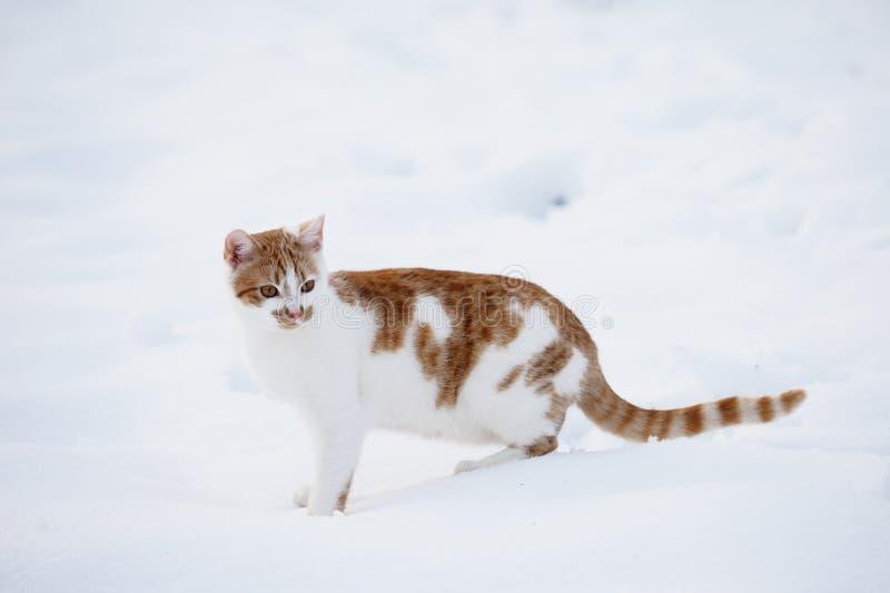 Gestreepte katkat in de sneeuw stock foto's