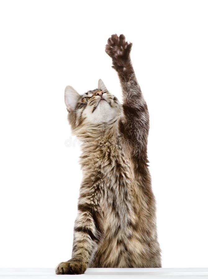 Gestreepte katkat die zijn poot slingert. geïsoleerd op witte achtergrond royalty-vrije stock foto's