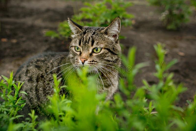 Gestreepte katkat in het gras in de de zomertuin stock afbeeldingen