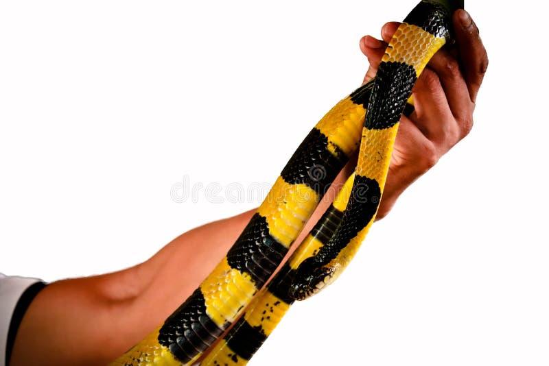 Gestreepte Krait-geïsoleerde slang stock fotografie