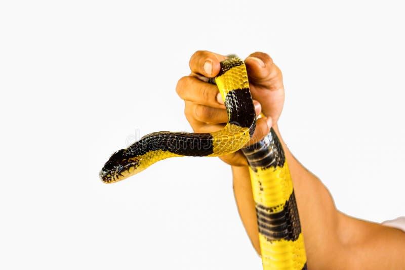 gestreepte Krait-geïsoleerde slang royalty-vrije stock afbeeldingen