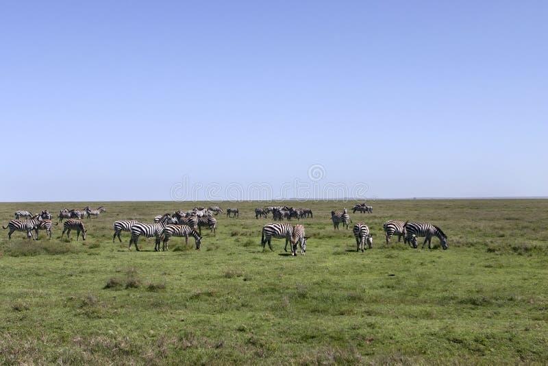 Gestreepte Kudde in Serengeti stock foto's