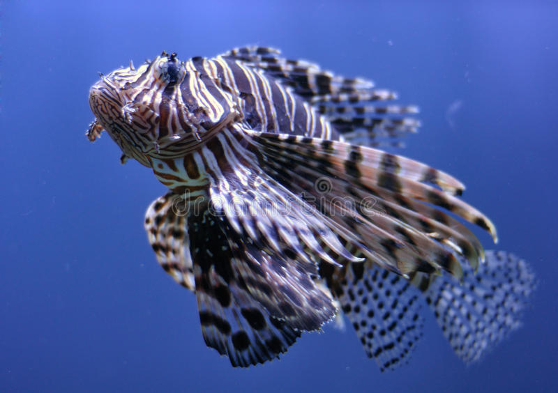 Lionfish in water stock foto