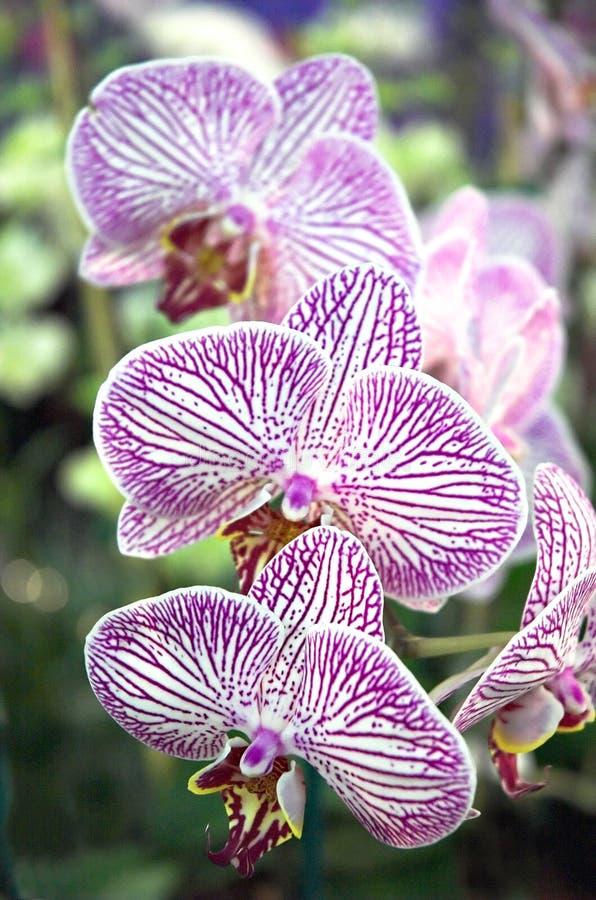 Gestreepte Orchidee stock foto's