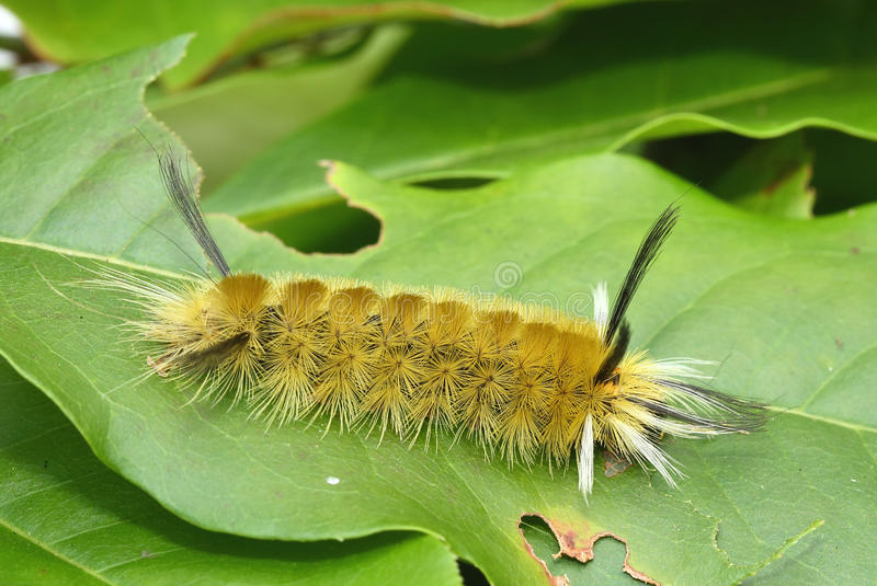 Gestreepte Polmot Caterpillar royalty-vrije stock afbeeldingen