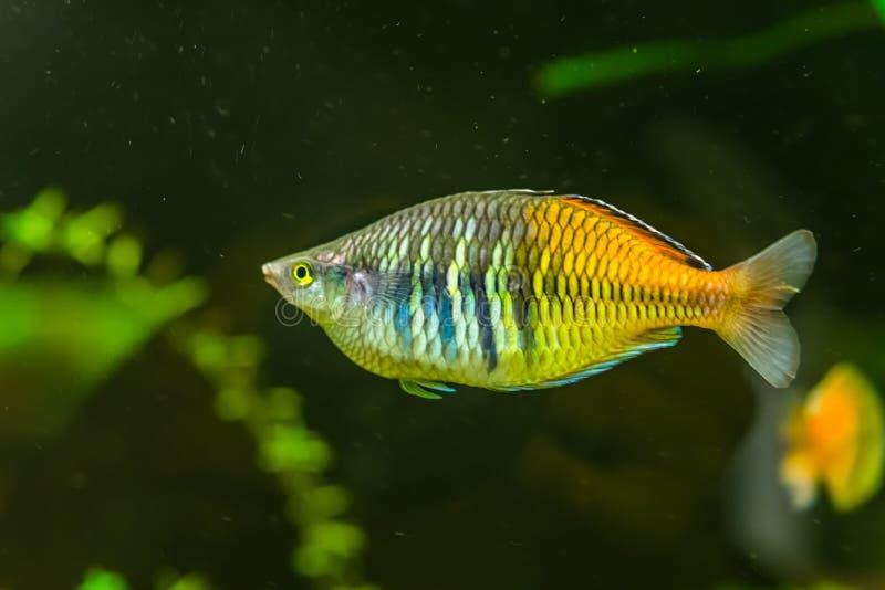 Gestreepte raindbowvissen in close-up, kleurrijke en populaire huisdier in aquicultuur, tropische en bedreigde vissenspecie van m stock afbeelding