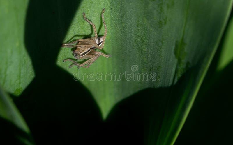 Gestreepte spin op groen blad royalty-vrije stock foto