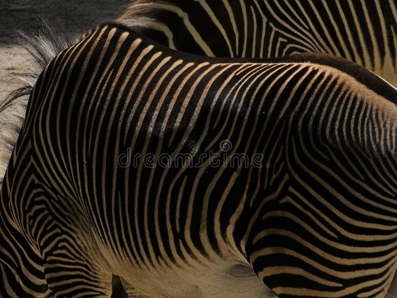 Gestreepte Gestreepte Status in dierentuin in Augsburg royalty-vrije stock foto