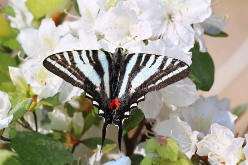 Gestreepte Swallowtail stock foto