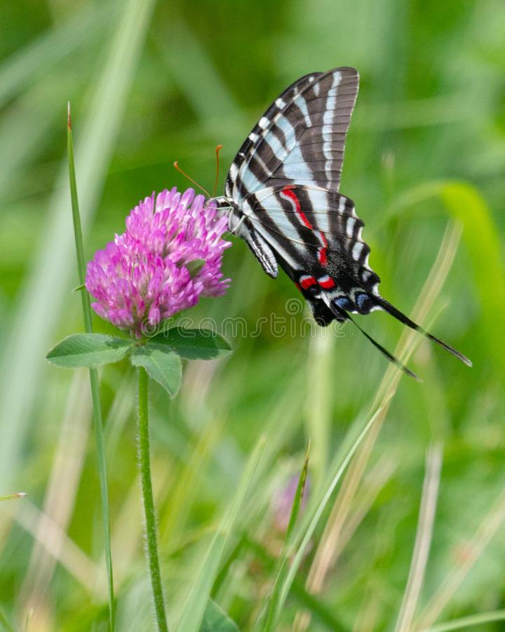 Gestreepte Swallowtail op Klaver stock afbeelding
