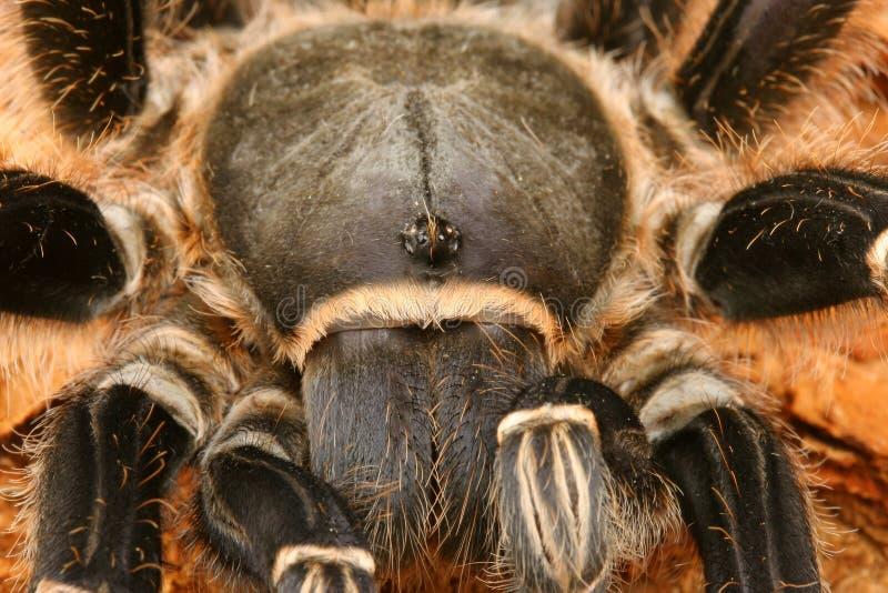 Gestreepte Tarantula royalty-vrije stock foto's