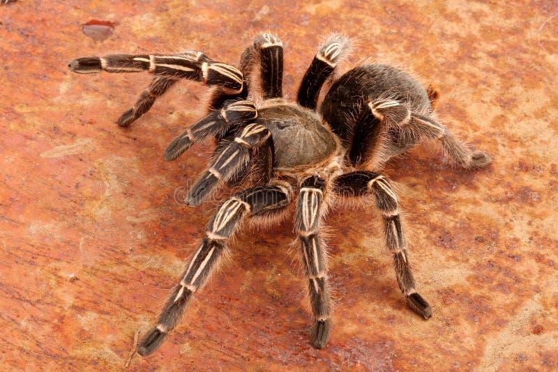 Gestreepte Tarantula stock foto