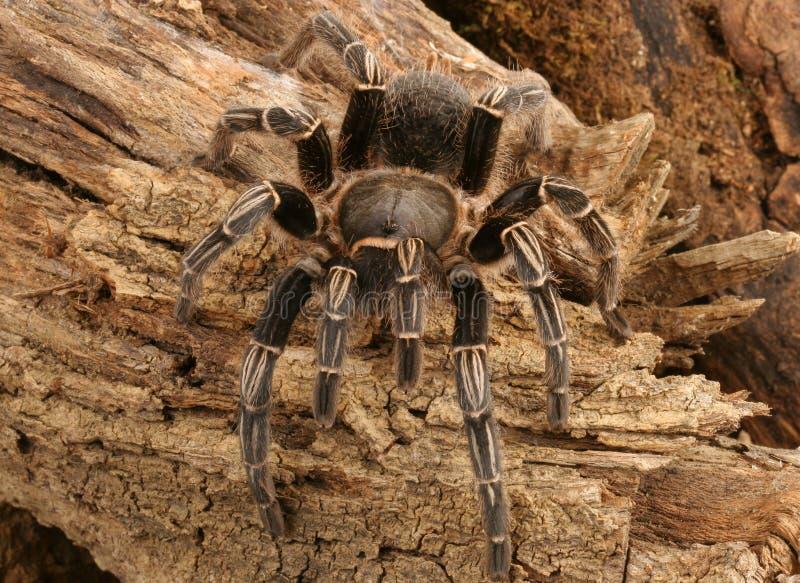 Gestreepte Tarantula royalty-vrije stock foto