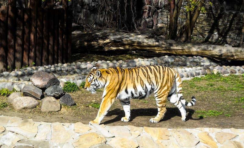 Gestreepte tijger bij de dierentuin stock foto