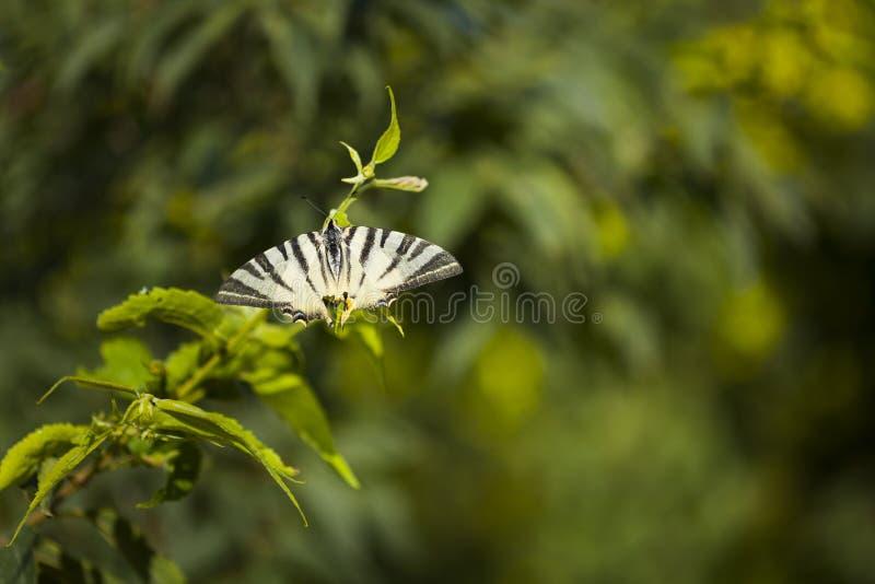 Gestreepte tropische vlinder van zwart-witte zitting op tak van boom royalty-vrije stock afbeeldingen