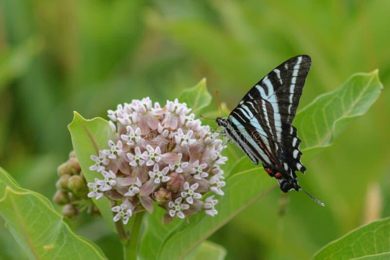 Gestreepte vlinder stock afbeelding