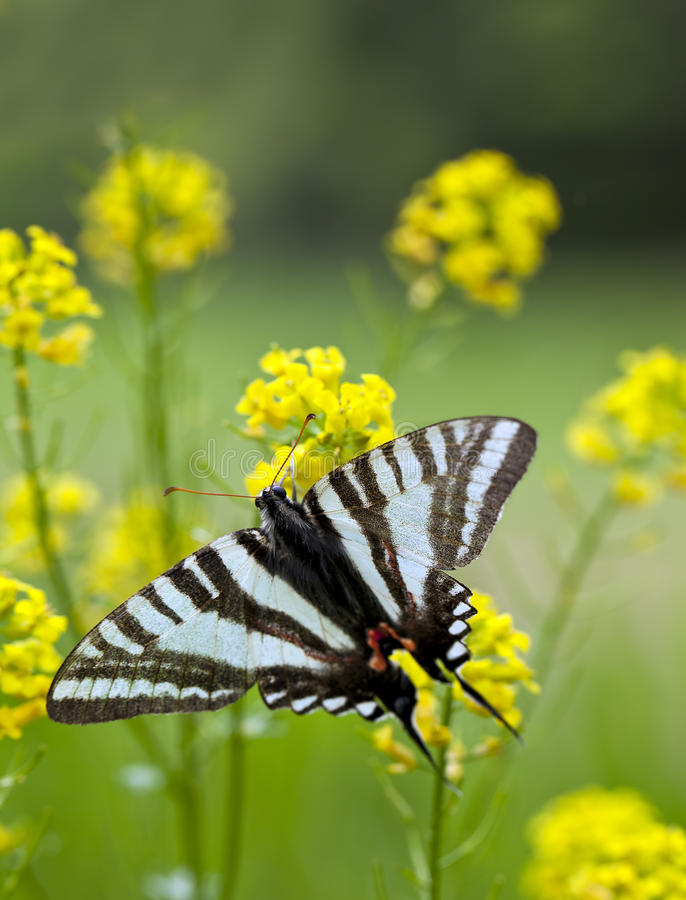 Gestreepte Vlinder Swallowtail stock fotografie